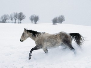 horse-in-the-snow-wallpapers_12023_1600x1200